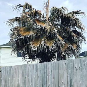dead palm tree removal after freeze damage